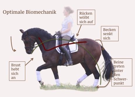 Biomechanik beim Pferd